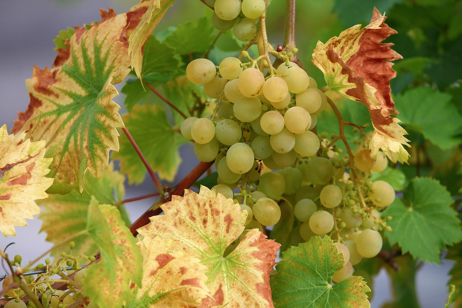 Kolébka vína
